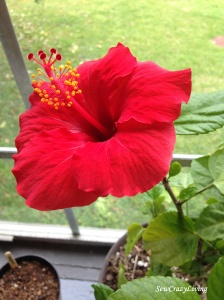 Hibiscus Grow Flower Bloom